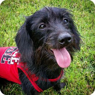 Dachshund/Terrier (Unknown Type, Medium) Mix Dog for adoption in Las Vegas, Nevada - Kevin
