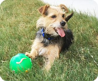 Jack Russell Terrier/Yorkie, Yorkshire Terrier Mix Dog for adoption in Austin, Texas - Beasley In Austin