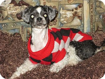 Shih Tzu/Shih Tzu Mix Dog for adoption in Dodge City, Kansas - Suzy Q