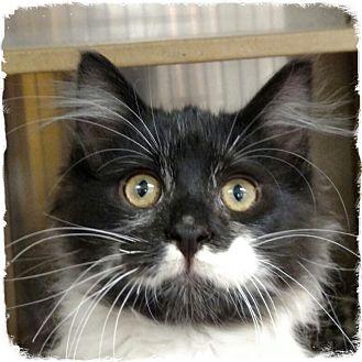 Domestic Longhair Kitten for adoption in Pueblo West, Colorado - Horst