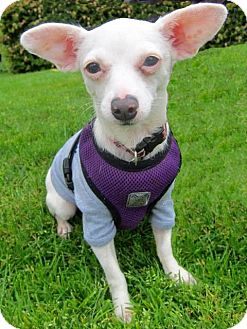 Chihuahua Mix Dog for adoption in Gig Harbor, Washington - Snowflake