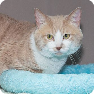 Domestic Shorthair Cat for adoption in Elmwood Park, New Jersey - Malcolm
