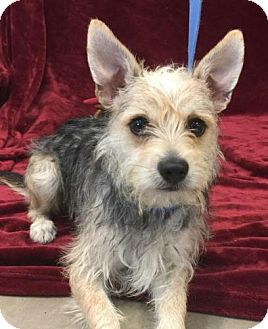 Terrier (Unknown Type, Small) Mix Puppy for adoption in Washington, D.C. - Spike