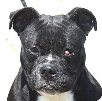 English Bulldog/French Bulldog Mix Puppy for adoption in New Haven, Connecticut - JORDAN