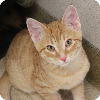 Domestic Shorthair Kitten for adoption in Naperville, Illinois - Benito