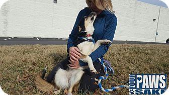 Sheltie, Shetland Sheepdog Mix Dog for adoption in Maryville, Illinois - Gypsy