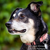 Australian Cattle Dog/Dalmatian Mix Dog for adoption in Westminster, California - Kayla