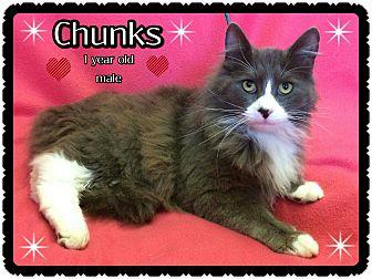 Domestic Longhair Cat for adoption in Richmond, California - Chunks