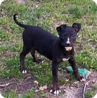 Hound (Unknown Type) Mix Puppy for adoption in Marlton, New Jersey - Iris
