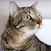 Domestic Shorthair Cat for adoption in Tucson, Arizona - LOLA