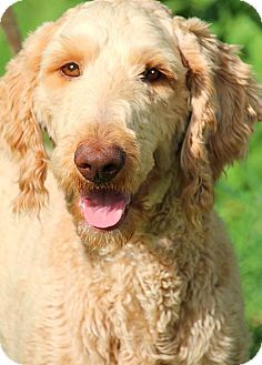 "Goldendoodle Dog for adoption in Wakefield, Rhode Island - CURLY(OUR ""GOLDENDOODLE"" !!!"