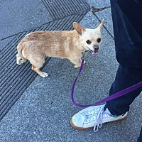 Chihuahua Mix Dog for adoption in San Francisco, California - Chaquita