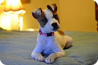 Boston Terrier/Jack Russell Terrier Mix Puppy for adoption in Southington, Connecticut - Mallee