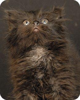 Domestic Shorthair Kitten for adoption in Newland, North Carolina - Dakota