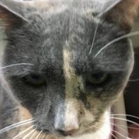 Domestic Shorthair/Domestic Shorthair Mix Cat for adoption in Annapolis, Maryland - Cheetah Gertie