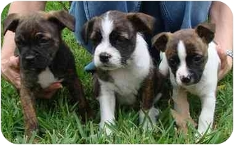 Boston Terrier/Jack Russell Terrier Mix Puppy for adoption in Haughton, Louisiana - Patty's pups (first 3)