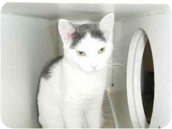 Domestic Shorthair Cat for adoption in Port Jefferson Station, New York - Lucy & Desi