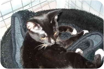 Domestic Shorthair Cat for adoption in Mission, British Columbia - Lola