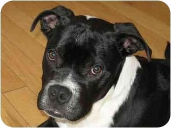 Boxer/Boston Terrier Mix Puppy for adoption in Brighton, Colorado - Tanker