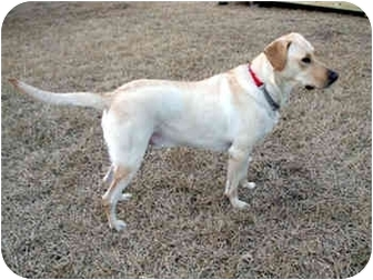 Labrador Retriever Dog for adoption in Largo, Florida - Bailey
