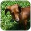 Photo 4 - Dachshund Puppy for adoption in Colleyville, Texas - Scrappy Doo