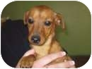 Dachshund/Chihuahua Mix Puppy for adoption in Salem, Oregon - Lucy