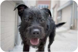 Schnauzer (Miniature)/Labrador Retriever Mix Dog for adoption in Houston, Texas - Scotty