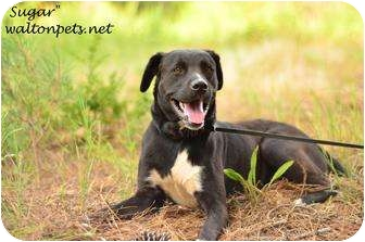 Labrador Retriever Mix Dog for adoption in Monroe, Georgia - Sugar
