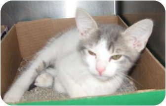 Domestic Shorthair Kitten for adoption in Stillwater, Oklahoma - Waffles