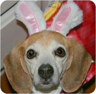 Beagle Mix Dog for adoption in Norwich, Connecticut - Gypsy