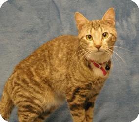 Domestic Shorthair Cat for adoption in Sacramento, California - Honey