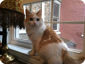 Domestic Longhair Cat for adoption in Chicago, Illinois - Dolly