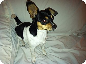 Chihuahua Mix Dog for adoption in San Diego, California - Philly URGENT