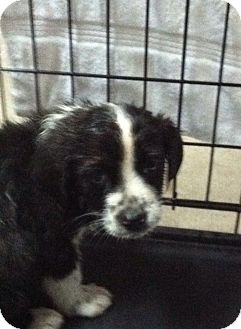 Collie Mix Puppy for adoption in Hazard, Kentucky - Freckles