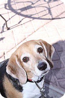 Beagle Mix Dog for adoption in Phoenix, Arizona - Stripey