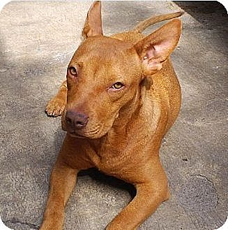 Pit Bull Terrier/Pit Bull Terrier Mix Dog for adoption in San Diego, California - Kristy