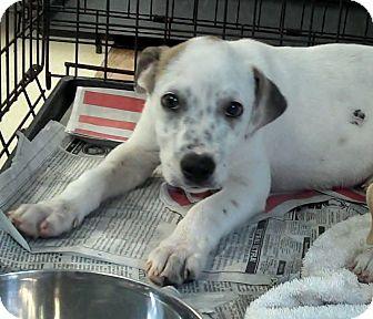 Labrador Retriever/Hound (Unknown Type) Mix Puppy for adoption in Philadelphia, Pennsylvania - Maverick
