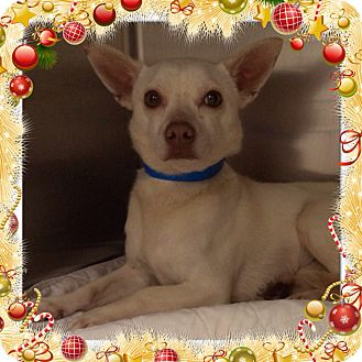Chihuahua Mix Dog for adoption in Marietta, Georgia - MARSHMALLOW