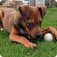 Adopt A Pet :: Lentil - East Rockaway, NY