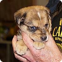 Adopt A Pet :: Cooper aka Stella 6 - Conway, AR