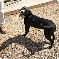 Adopt A Pet :: Licorice - Childress, TX