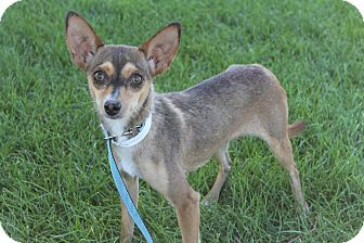 Chihuahua Mix Dog for adoption in Fountain, Colorado - Tabby