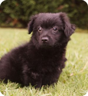 Pomeranian/Chihuahua Mix Puppy for adoption in Newark, Delaware - Iggypop