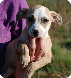 Feist/Retriever (Unknown Type) Mix Puppy for adoption in Milford, Connecticut - Flynn