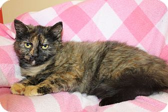 Domestic Mediumhair Kitten for adoption in HARRISONVILLE, Missouri - Sarah