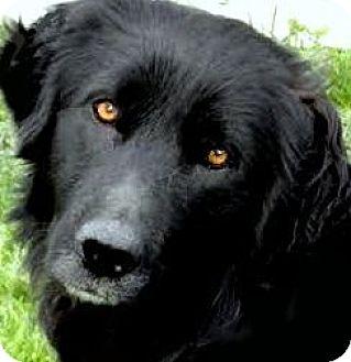 Golden Retriever/Labrador Retriever Mix Dog for adoption in Winchester, Kentucky - BOOTSY(WHAT A STORY! PLS READ!