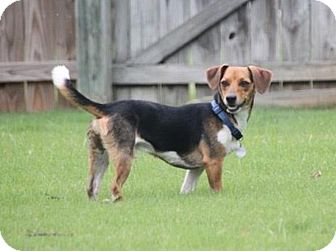 Beagle/Terrier (Unknown Type, Medium) Mix Dog for adoption in Knoxville, Tennessee - Benny