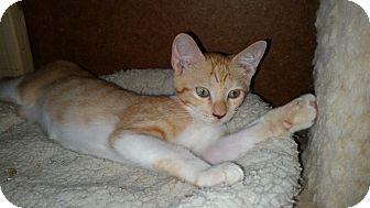 Domestic Shorthair Kitten for adoption in Schertz, Texas - Rockstar TG