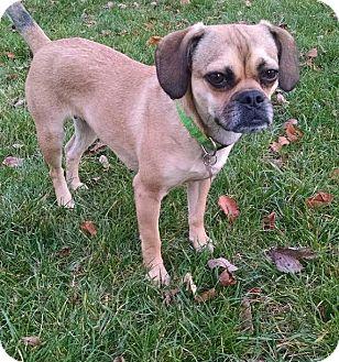 Pug/Beagle Mix Dog for adoption in Baltimore, Maryland - Sophie