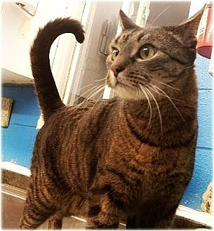 Domestic Shorthair Cat for adoption in Huntington, New York - Mark